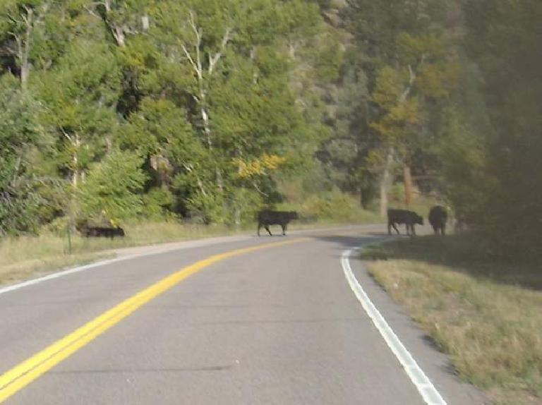 Why did the cows cross the road?