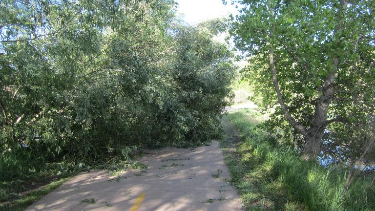 Due to the recent wet and heavy snow, many trees were broken in Fort Collins, including this one obstructing the Spring Creek Trail.