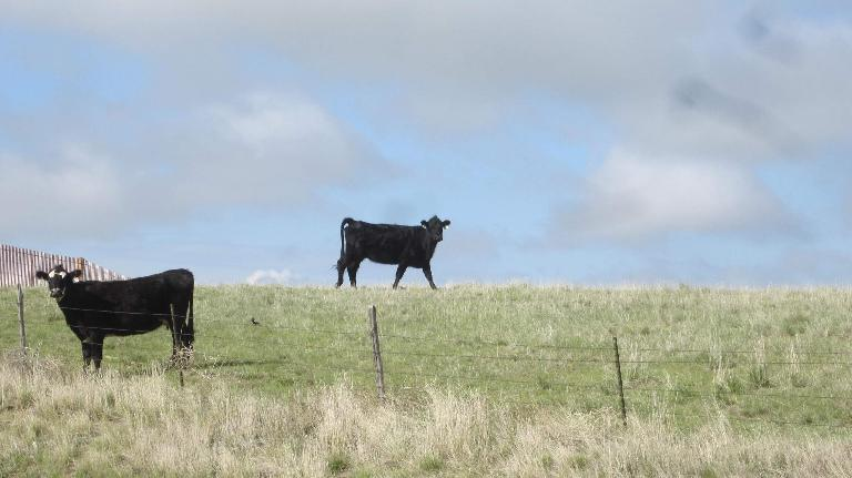 two black cows in eastern Colorado