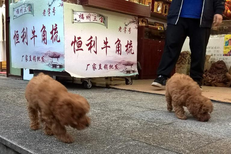 Two little furry dogs in Fuzhou, China.