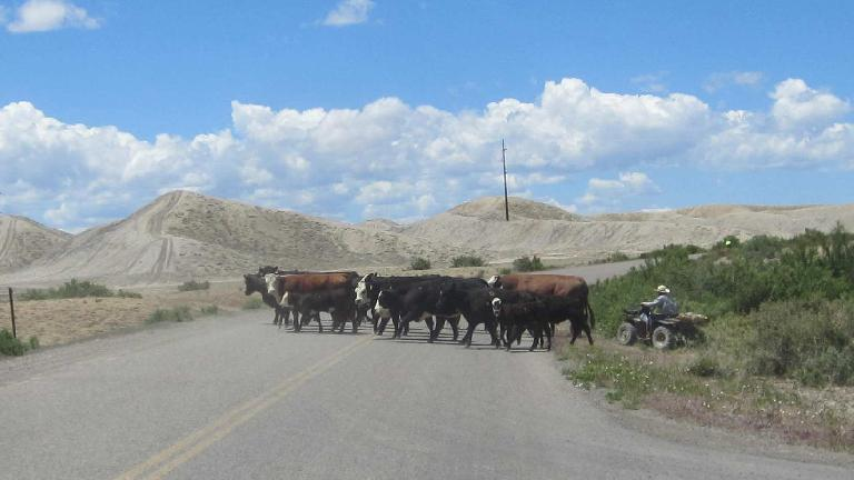 [Mile 107, 12:22 p.m.] Big bovine blockage in Delta, Colorado.