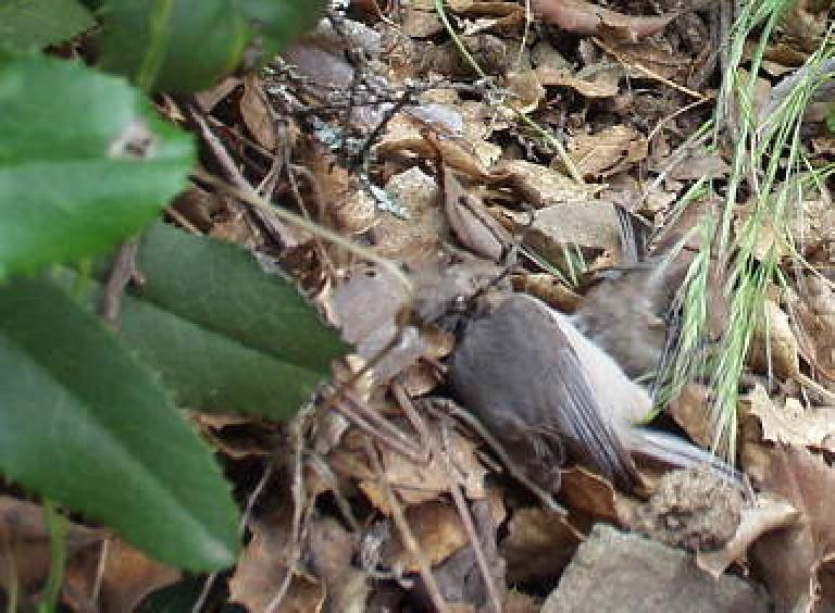 A hurt bird at Henry Coe State Park.  Or so we thought--it rapidly flew away after we watched it for a full minute.