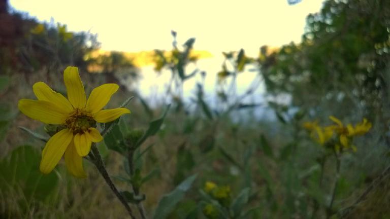 Flower along the shores of Satanka Cove.