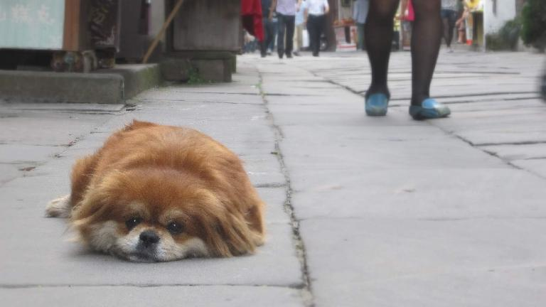 A dog lying on Tunxi Ancient Street. (May 20, 2014)