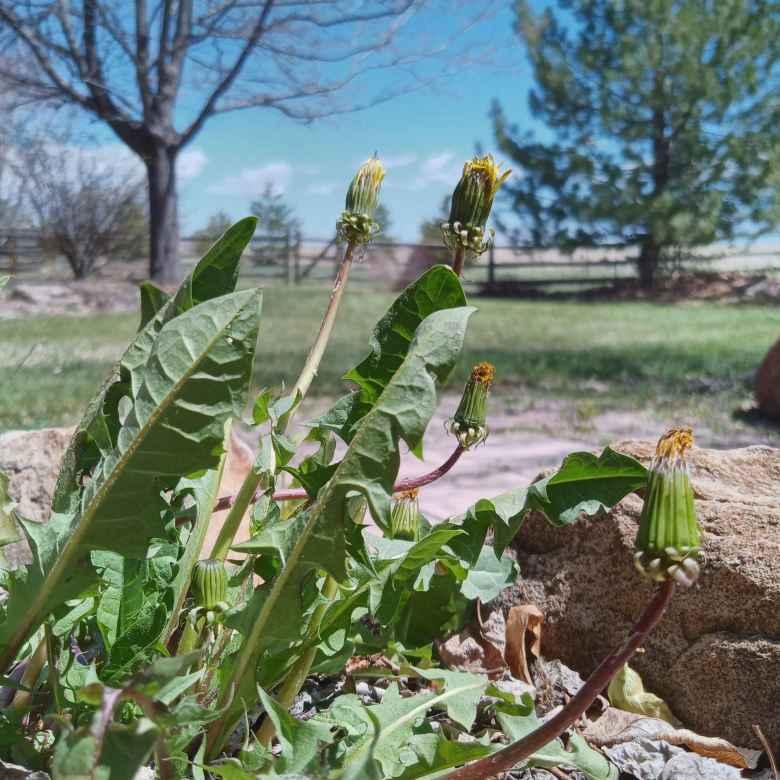 Dandelions in my back yard.