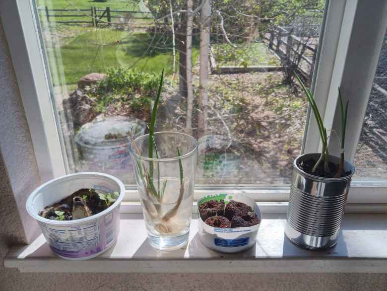 Small scale farming experiment: growing basil, peppers, radishes, and green onions by a kitchen window.