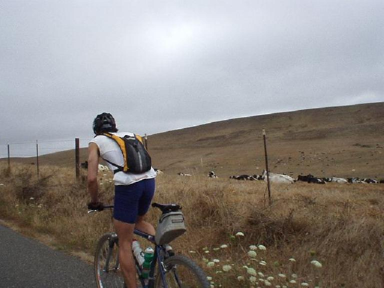 [Mile 44, 9:40am] Everitt was the man of the day!  Despite riding 118 miles at an intense pace during yesterday's Santa Cruz Mountain Challenge, he did today's 200k ride on his Cannondale mountain bike!  Here we are passing numerous cows.