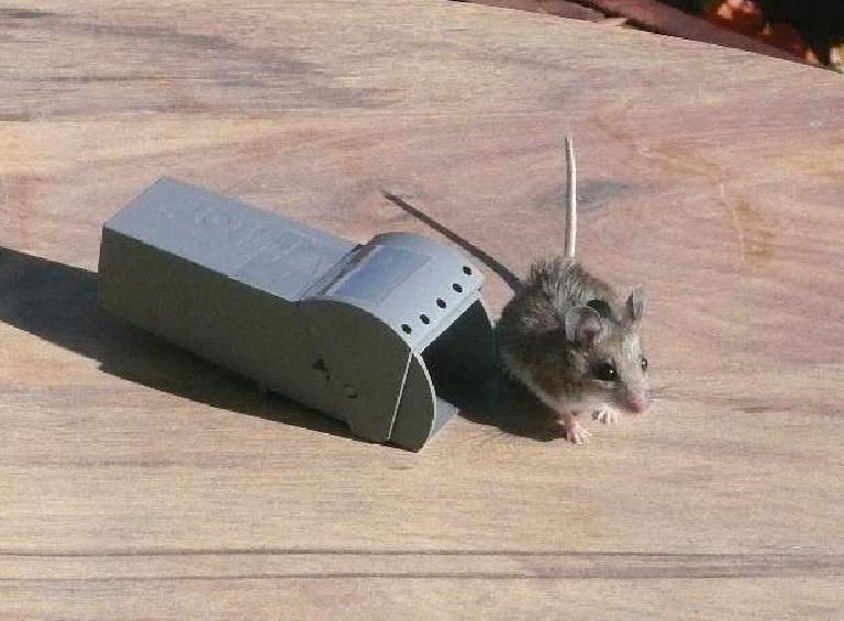 Mouse released outside on a table.