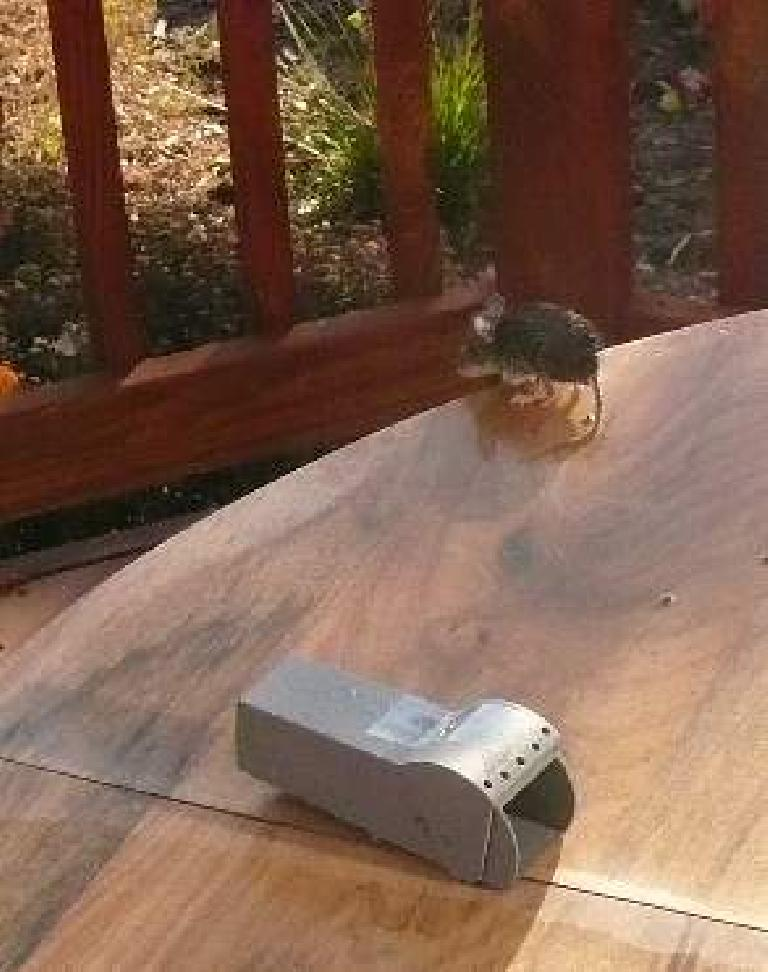 Mouse ready to make the jump off the table.
