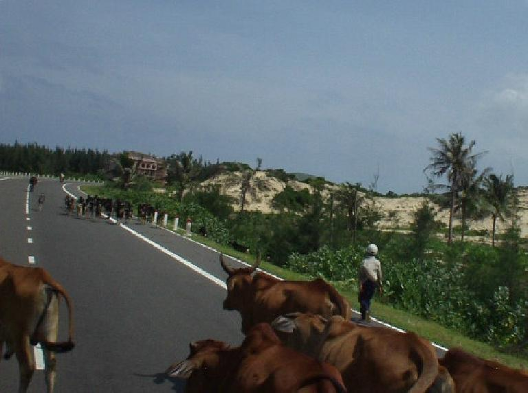 A traffic jam on the way to Mui Ne was caused by cows and goats.