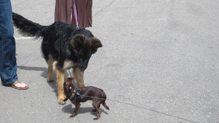 big furry black dog meets small brown dog