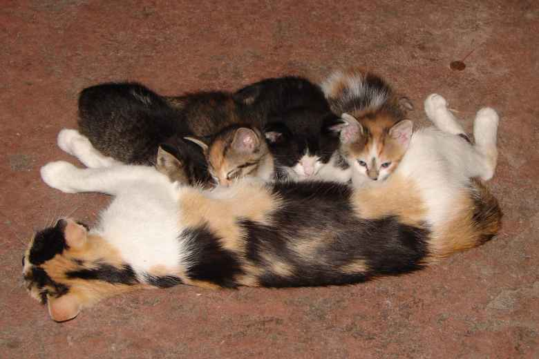 Tiger and Oreo (first and third kitty) nursing off their mom in July 2008.