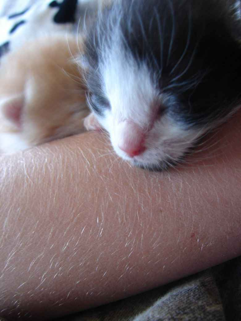 Oreo resting on a human's arm.