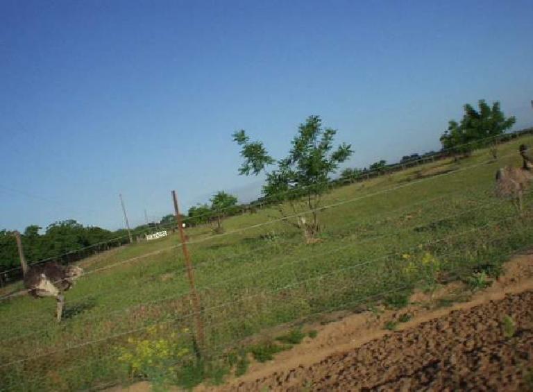 ostrich, green farmland, Delta region, California