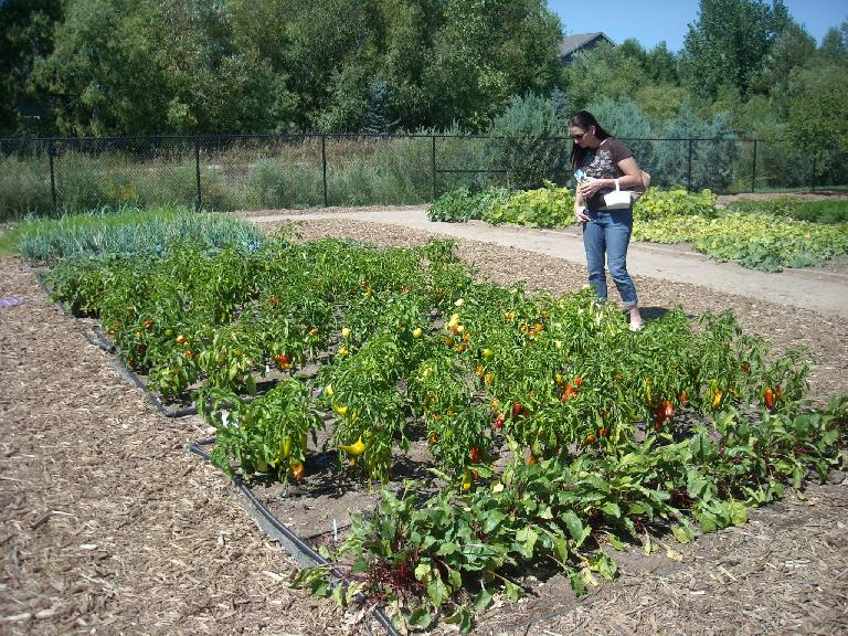 Tori looking at the plots of peppers, which looked so colorful and unmarred that I said they almost looked fake.
