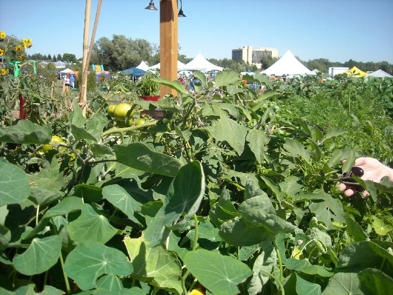 Eggplant with the tents of the Peach Fest behind.