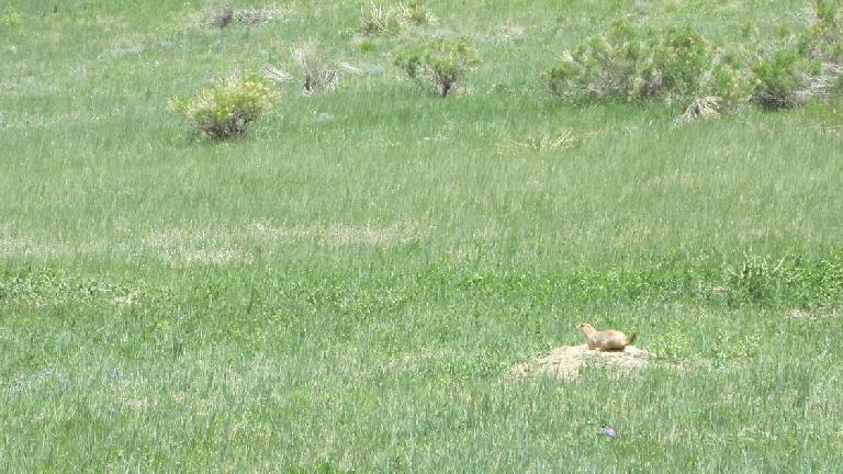 Prairie dog.