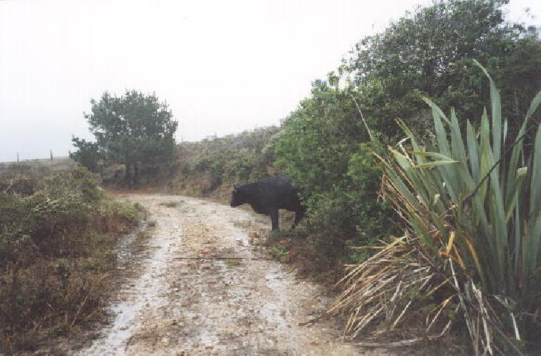 Big hulking cow on the trail.