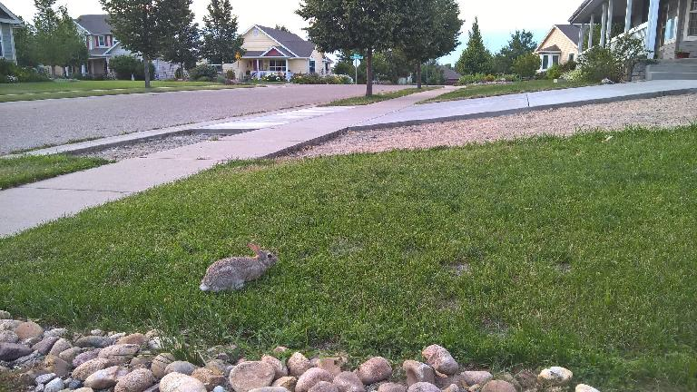 A bunny rabbit on one of my neighbor's lawn.