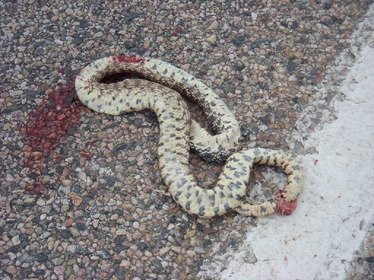 A rattlesnake, quite smashed (not by me!)