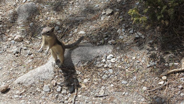 Friendly chipmunk.