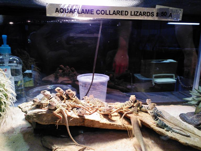 Many aquaflame collared lizards.