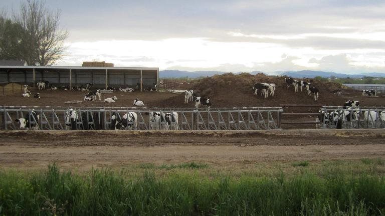 cow farm near Windsor, Colorado