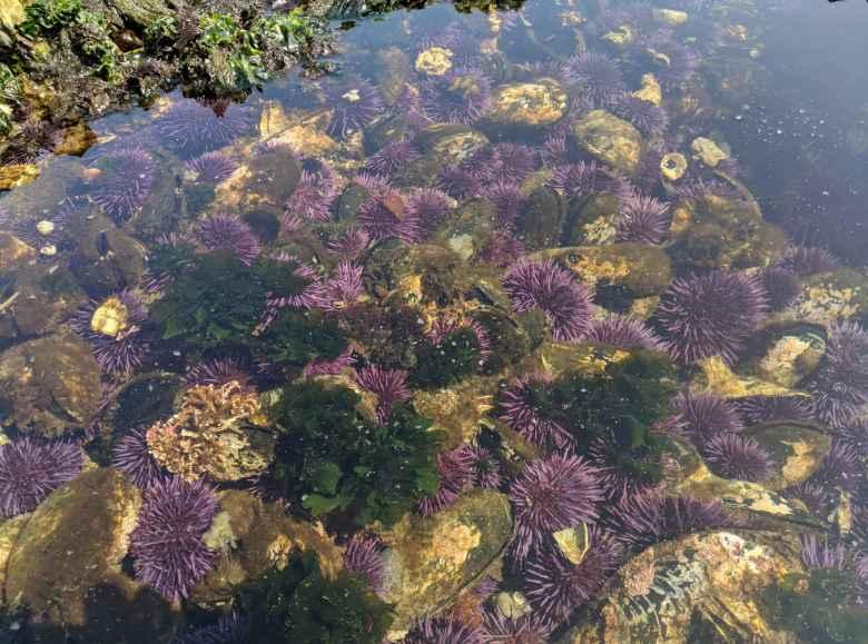 Lots of sea urchins at Salt Creek County Park.