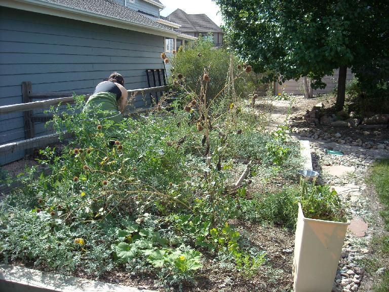 Sarah helped pull some weeds from my garden before she went back to California. (September 18, 2011)
