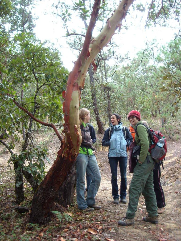 """Madrone, or """"tourist tree"""" because it """"looks red and loses all its skin.""""  It is a hard wood."""