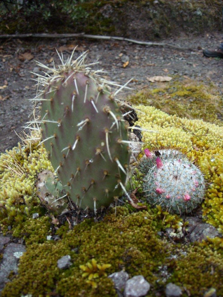 A cactus arrangement growing out of rock with moss.