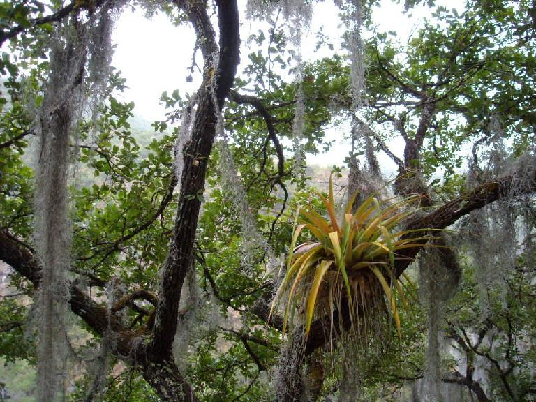 An epiphyte among Spanish moss.
