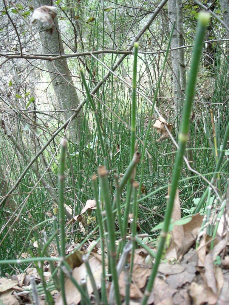 Horsetail.  It is good for the prostate.