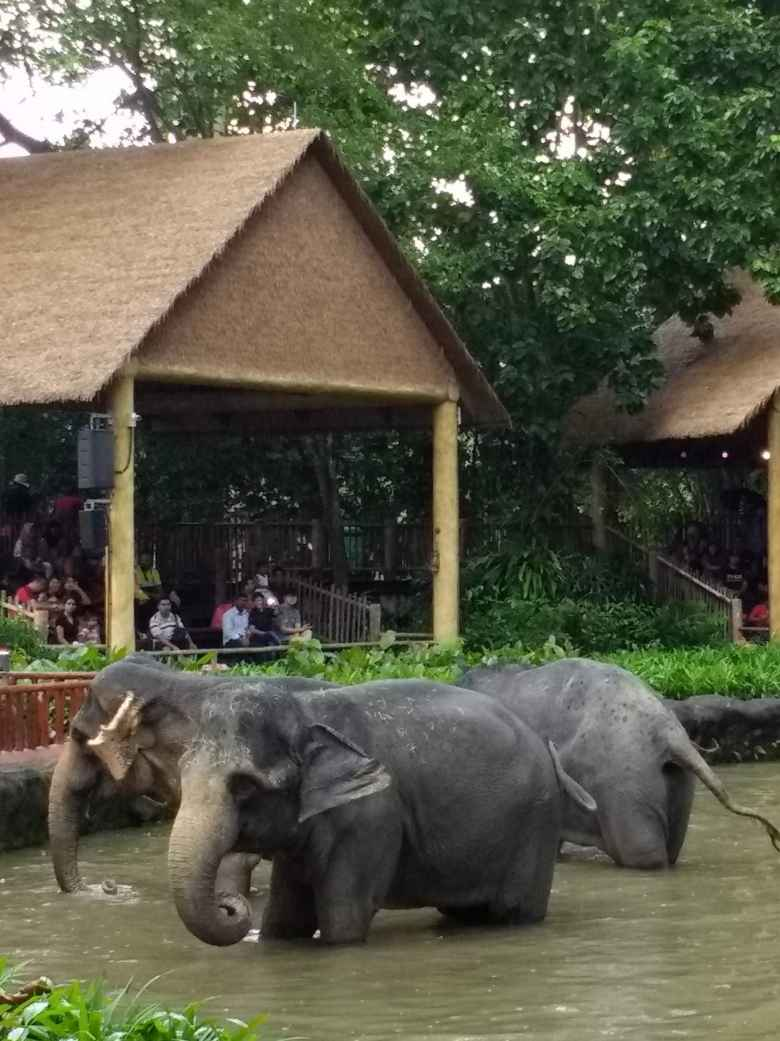 Elephants at the Singapore Zoo.