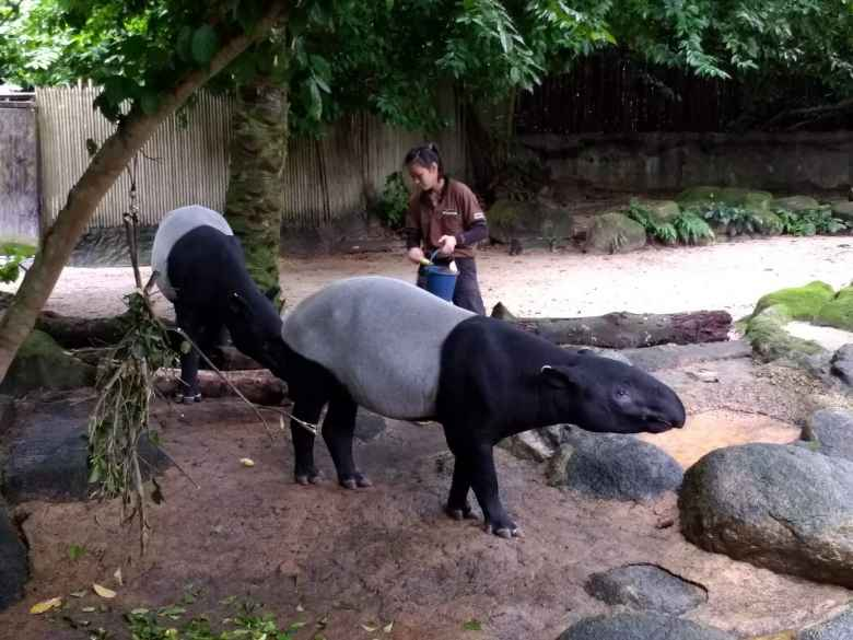 "Tapirs (""walking watermellons"") at the Singapore Zoo."