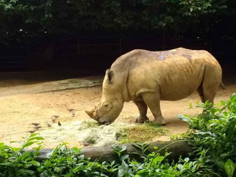 Rhinosaurus at the Singapore Zoo.