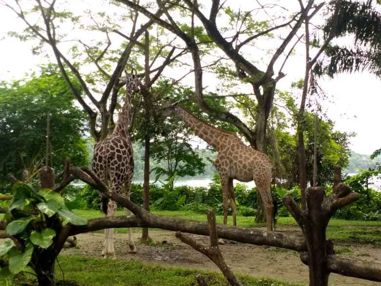 Giraffes at the Singapore Zoo.