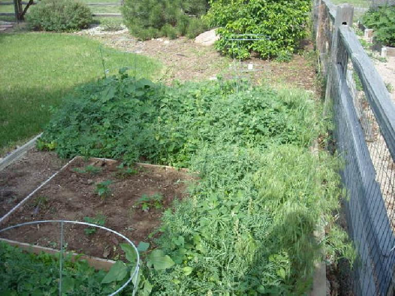 All the weeds that grew in the garden plot despite solarization.  The dirt section is where we already pulled the weeds minutes before I took this photo.