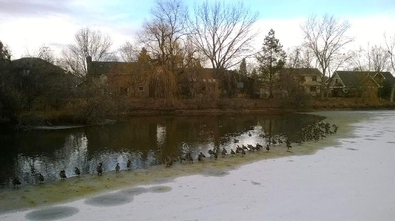 Ducks on the partially frozen Spring Creek in Fort Collins, Colorado.