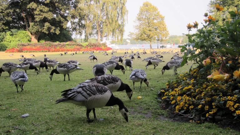 Geese at Nobelparken. (July 25, 2013)