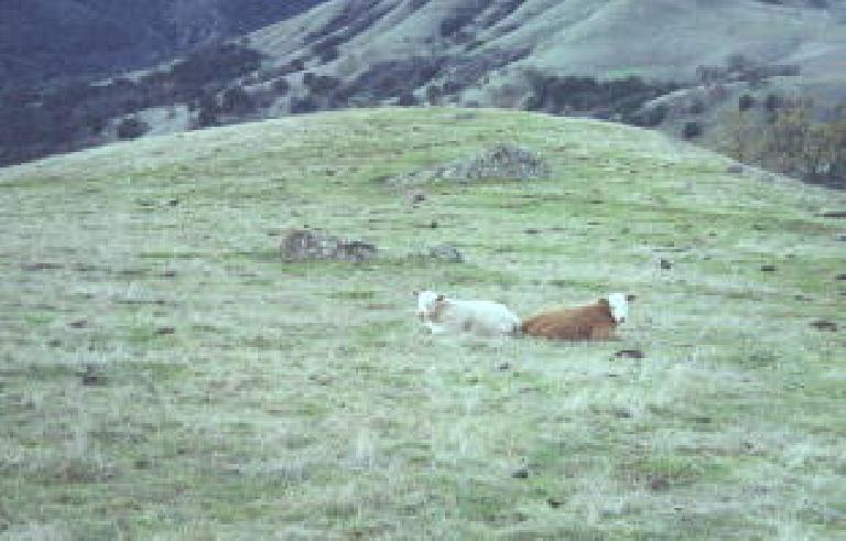 Lazy cows back to back, mooo.
