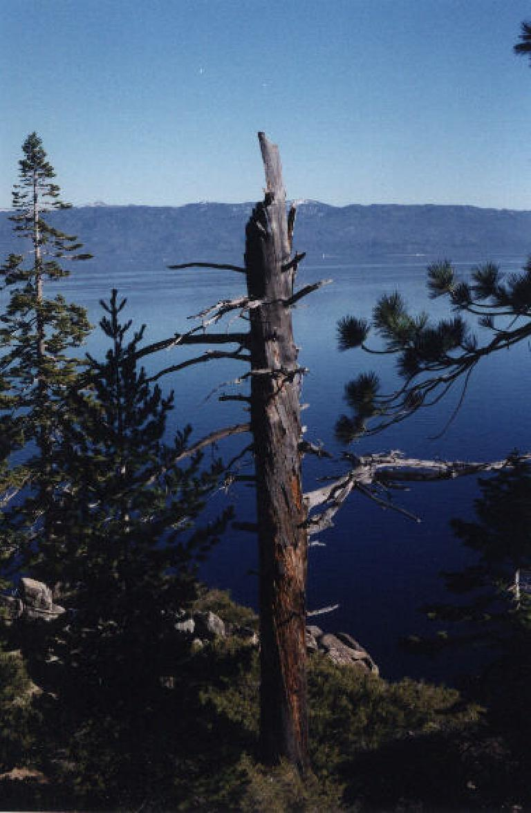 Tree on the Rubicon Trail.