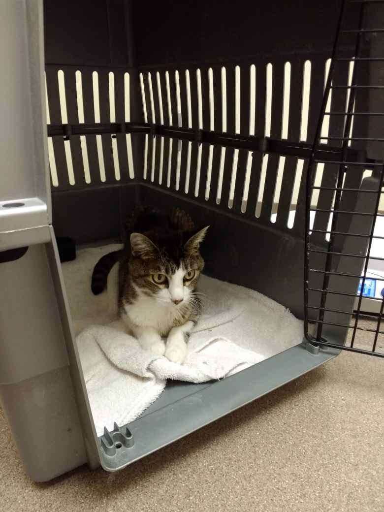 Tiger at a third vet's office.  The tests concluded that she had cancerous tumors on her spleen, liver, and possibly the lymph nodes.