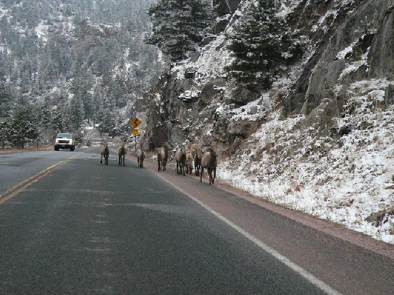 On our way to Estes Park, other drivers kept flashing their lights at me.  Why?  Because around the corner was this flock of [whatever these animals are called].