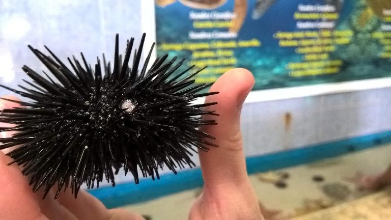 black sea urchin, Tortugranja, Isla Mujeres
