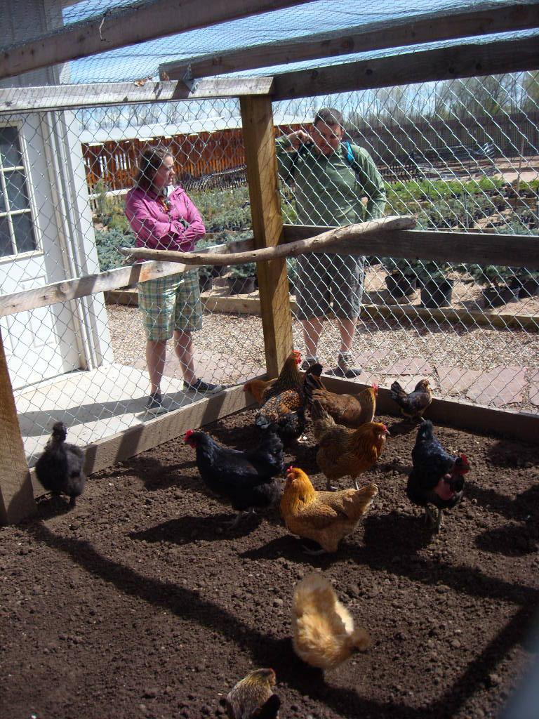 Various kinds of hens and a rooster.
