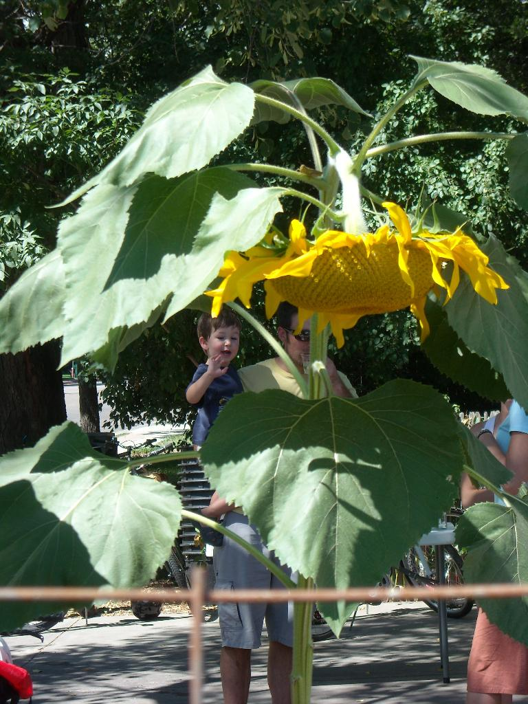 A giant sunflower at the Mugs Coffee Lounge Gardens.