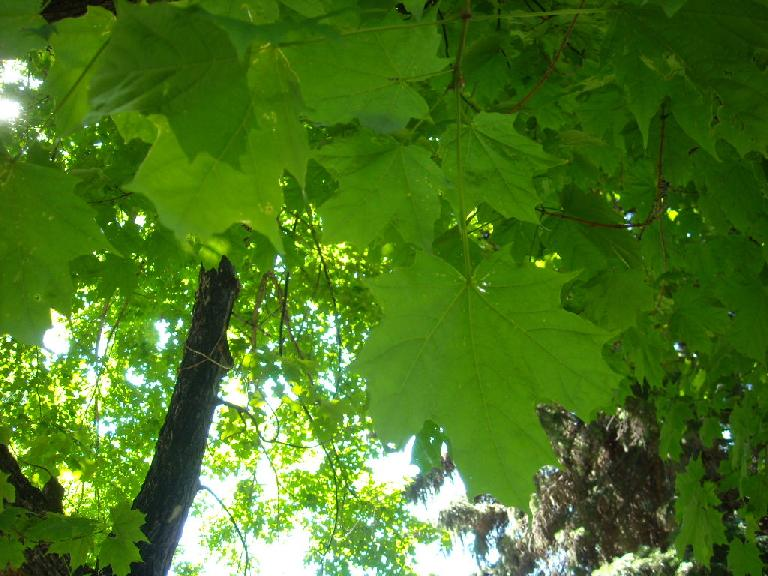 Leaves of a maple tree in the Grandview Cemetery.