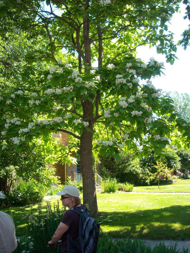 Catalpas had nice white flowers.
