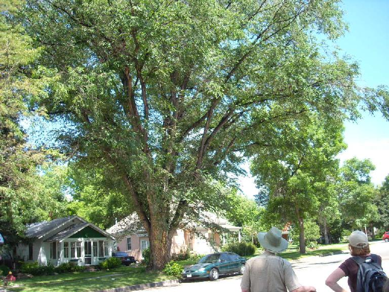 This is a red elm at 105 S. Whitcomb in Fort Collins.  It too is a #1 champ.
